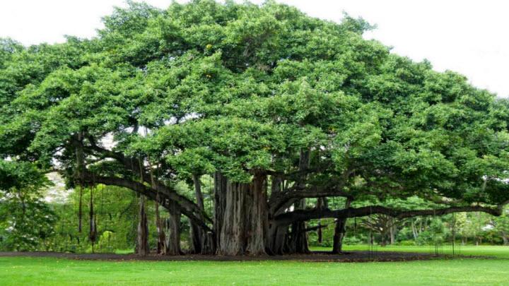 Kimsa giải mã giấc mơ thấy cây cổ thụ nên đánh con gì?