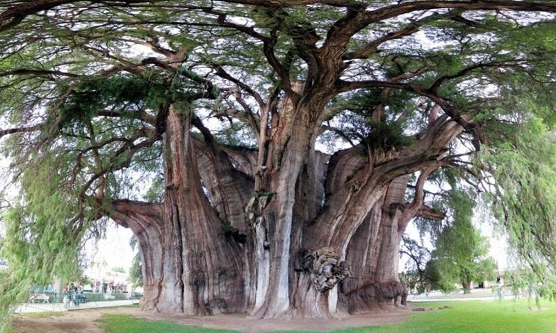 Kimsa giải mã giấc mơ thấy cây cổ thụ