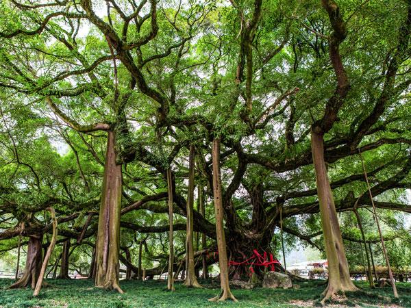 Mơ thấy rừng cây cổ thụ